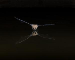 Western Pipistrelle Bat