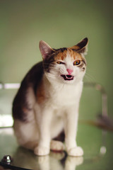 Very funny tricolor cat laughing on blured background