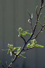 Buds of pear tree. Dissolve kidney pears. Spring in the garden