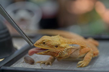 close up gold bearded dragon eating prey. Focus on its ear. Selective focus.