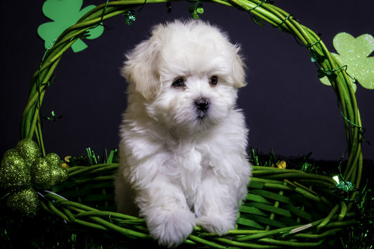 St. Patrick's Day Fluffy White Maltese Puppy Sitting in a Green Basket