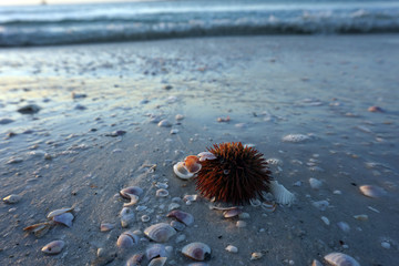 Sea urchin with shells on the beach