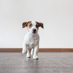 Puppy running at home