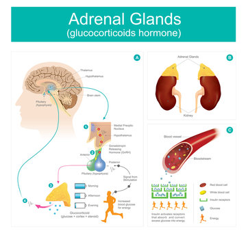 Adrenal Gland glucocorticoids hormone.