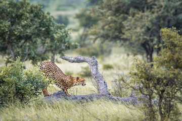 Cheetah in Kruger National park, South Africa