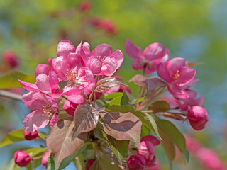 Blühender Zierapfel, Malus