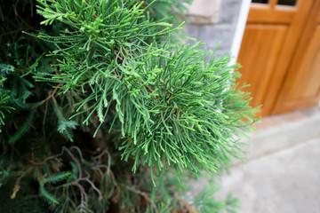 pine tree near the house