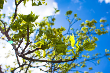 blossoming tree in spring against a background of sun rays and blue sky