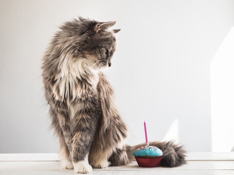 Cute, fluffy, gray kitten and a festive cupcake with one candle on a white, isolated background. Celebrating the birthday of your pet. Caring for animals