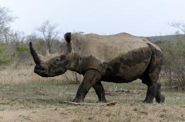 Rhinocéros blanc, Ceratotherium simum, Parc national Kruger, Afrique du Sud