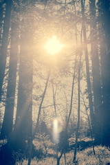 Sunny Glade In A Conifer Forest Near Munich In Germany With The Sun Shining Through the branches directly into the lens of the camera