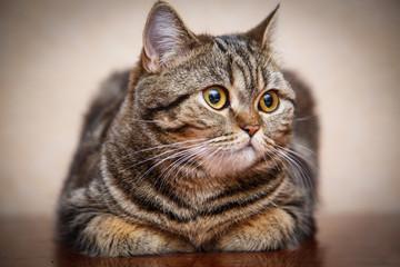 Kitten portrait of Scottish cat