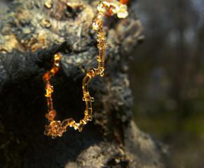 Drop of apricot wood tar.Tree resin. Macro photo.