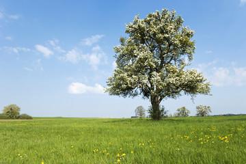 Frühling, blühender Obstbaum