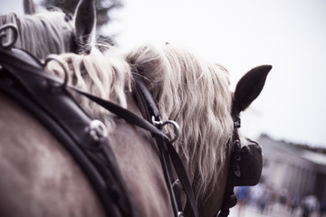 Two horses of a horse carriage from the back