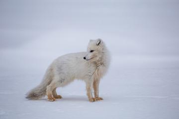Lis polarny w wiosennej odsłonie