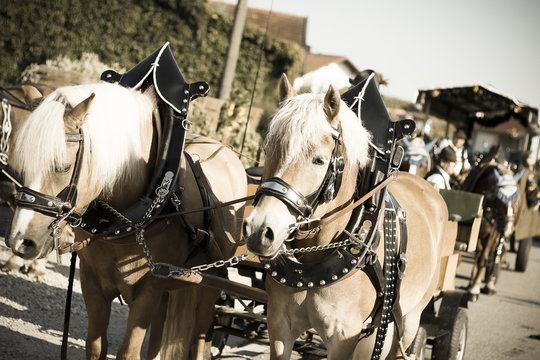 brown horses with blond manes carrying a horse carriage of the opening procession of a bavarian beerfest, a festival fair through the streets