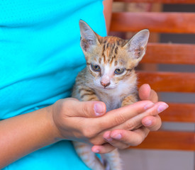 Little cat in woman's hands. Young kitty with red fur and blue eyes. Caring hands holding cute kitten.