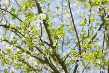 Branch of a blooming cherry tree with blue sky in the background