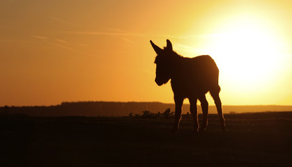 Silhouette of wild donkey on sunset