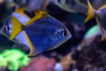beautiful fish Monodactylus argenteus