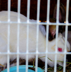 Albino rabbit with a big red eyes behind bars scary look
