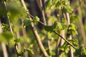 close up of Green buds on branches of a hazelnut tree in spring in the early morning light of a sunny day illuminated by beams