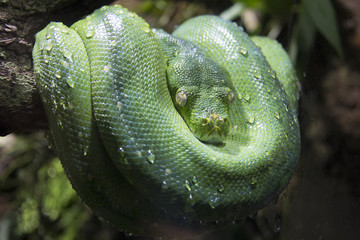 Green snake with closed yellow eyes rolled up on a branch of a tree with the body rolled around its head and water drops on the skin