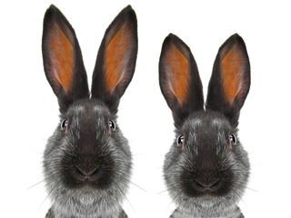 portrait  rabbit
