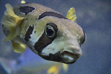 Exotic fish with brown stripes and yellow fins swimming through water and looking straight in to the camera