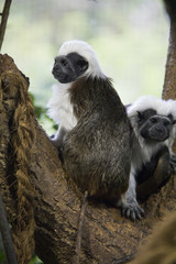 two mantled guereza or Colobus guereza, also known as guereza, the eastern black-and-white colobus sitting on the branch of a tree