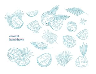 Bundle of drawings of whole and split coconut and palm tree leaves hand drawn with blue contour lines on white background. Exotic tropical fruit or drupe. Monochrome botanical vector illustration.