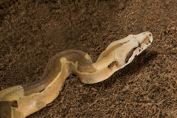 Close up of beautiful Boa constrictor imperator. Mutational form Hypo Jungle. Albino - male. Snake in motion