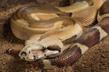 Close up of beautiful Boa constrictor imperator. Mutational form Hypo Jungle. Albino – male