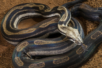 Close up of Boa constrictor imperator – mutational form Motley – Snow. Female