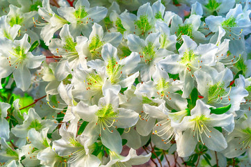 White azalea flowers on a bush in the spring garden
