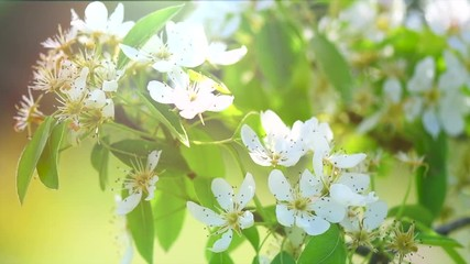 Canvas Print  - Pear tree flowers blooming in orchard closeup. Gardening concept. Blossoming pear tree. Slow motion. 4K UHD video 3840X2160