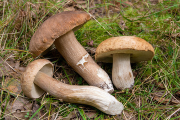 Group of porcini mushrooms (Boletus edulis, cep, penny bun, porcino or king bolete) on natural background..