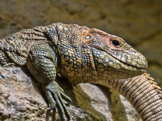Caiman Lizard Dracena guianensis, a mighty lizard