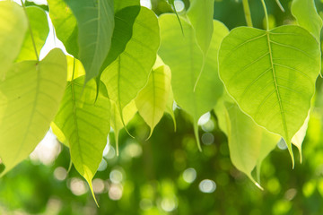 Close up green Bodhi leaf on tree nature fresh style