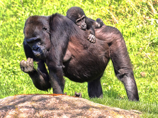 The Western Lowland Gorilla, Gorilla g. gorila, wears a cub on her back
