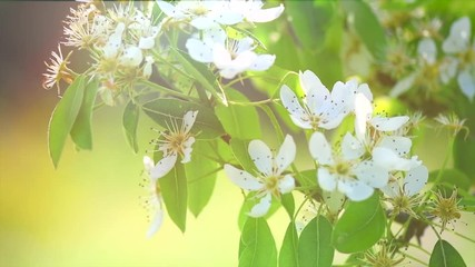 Fotoväggar - Pear tree flowers blooming in orchard closeup. Gardening concept. Blossoming pear tree. Slow motion. 4K UHD video 3840X2160