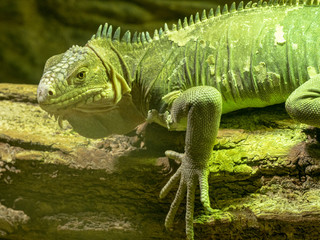 Lesser Antillean Iguana, Iguana delicatissima is on the farm to eat