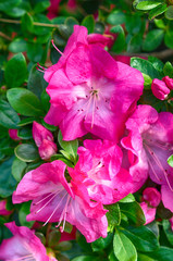 Keuken foto achterwand Azalea Blossoming pink azalea close up