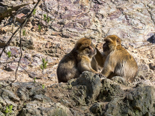 Barbary Ape, Macaca sylvanus, care for each other's hair