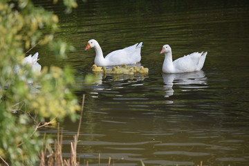 Geese family going for a swim