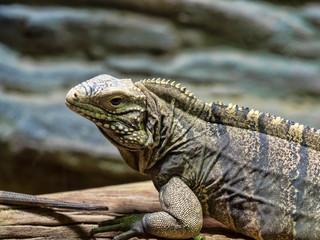 Cuban Ground Iguana, Cyclura n.nubila, lives only in Cuba