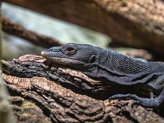 Black tree monitor, Varanus beccarii, is a slender tree lizard