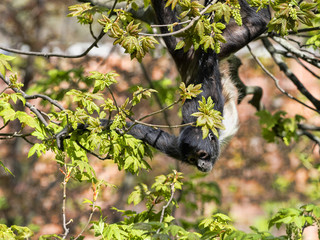 Silver gibbon, Hylobates of molluscs, in the branches