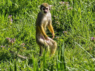 Common squirrel monkey, Saimiri sciureus, is looking for food in the stand